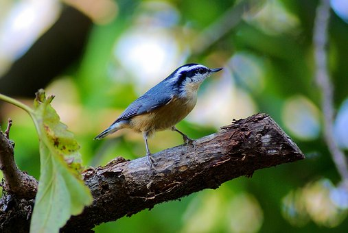 Redbreasted Nuthatch, Bird, Nuthatch, Arkansas, Nature