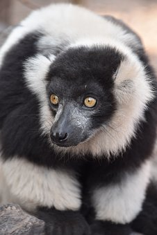 Lemur, Nature, Wild, Animal, Mammal, Fur, Primate