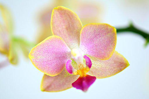 Phalaenopsis, Orchids, Orchidee, Orchidaceae, Flowers