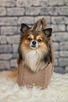 Chihuahua, Dog, Small, Cute, Pet, Race, Hairy, Chiwawa