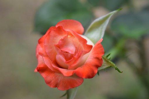 Colombia, Roses, Petal, Flowers, Garden
