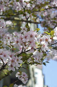 Cherry Blossoms, Flowers, Pink, White, Blue, Tree