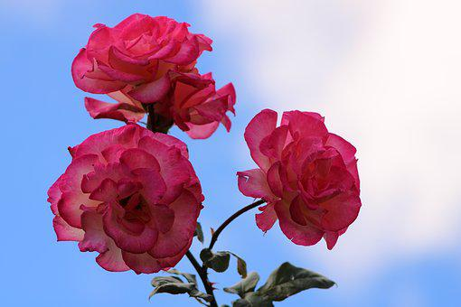 Pink Rose, Rose, Bloem, Bloesem, Bloeien, Roze