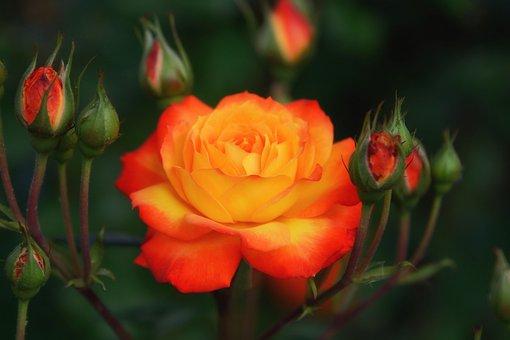 Orange Rose, Bright, Plant, Garden, Summer, Blossom