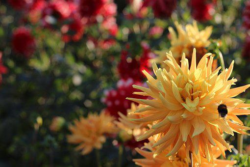 Dahlia, Yellow, Bourdon, Flower, Garden, Plants, Color