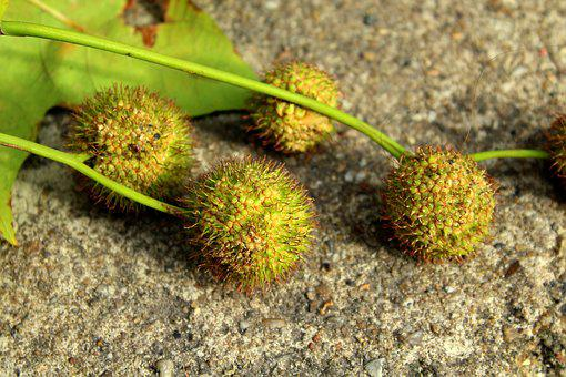 Platanus, Fruit Platana, Prickly, Balls, Vegetation