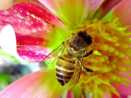 Honeybee, Flower, Insect, Bee, Pollen