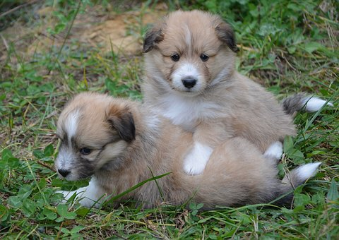 Puppies, Puppies That Play, Young Dogs, Dogs Crossed
