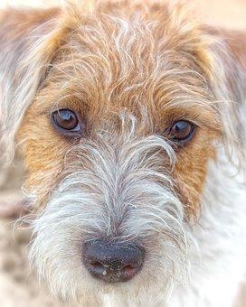 Dog, Parson Russel Terrier, Pet, Terrier, Purebred