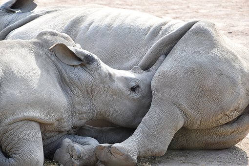 Rhinoceros, Mom, Baby, Breast-feed, Mother, Nature