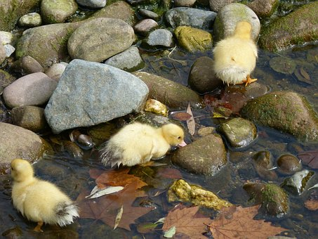 Ducks, Ducklings, Chicks, Young, River
