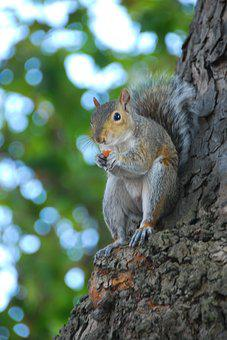 Squirrel, Tree, Rodent, Nature, Animal, Trunk, Tail