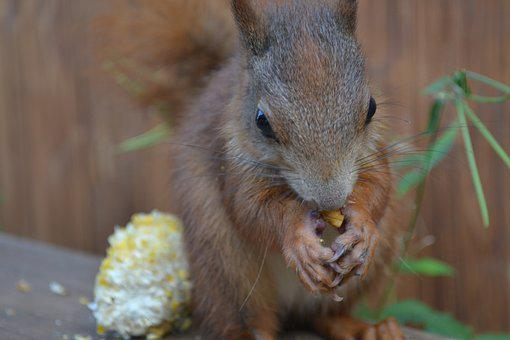 Squirrel, Animal, Cute, Rodent, Foraging, Pretty