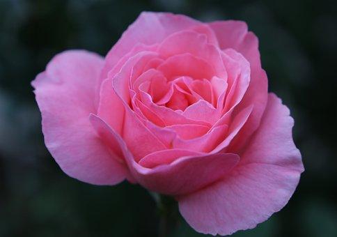 Pink Rose Papillon, Flower, Delicate, Romantic, Evening
