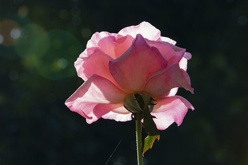 Rose, Pink Roses, Flowers, Beautiful, Pink, Nature