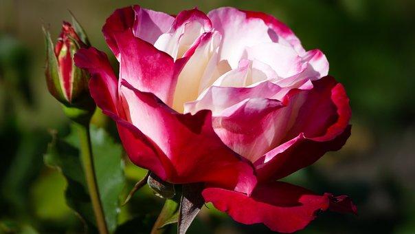 Rose, Blossom, Bloom, Red Rose, Colorful Rose, Plant