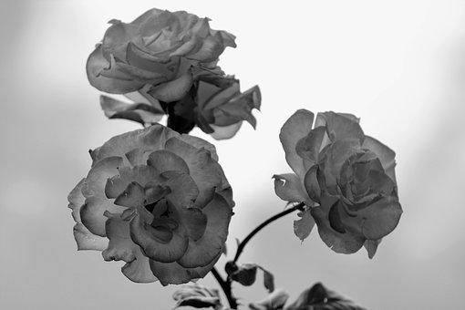 Bloem, Bloesem, Bloeien, Roze, Roos, Steeg, Black White