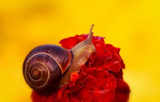 Wstężyk Huntsman, Molluscs, Snail, Flower, Marigold