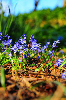 Bluebell, Spring, Bloom, Blue, Plant, Flower, Nature