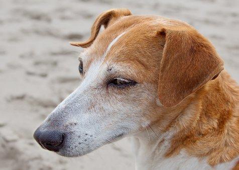 Dog, Jack Russel, Terrier, Pet, Purebred