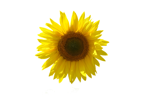 Sunflower, Isolated, Transparent Background, Close Up