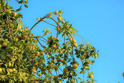 Apple, Tree, The Nature Of The Plant, Fruit, Mature