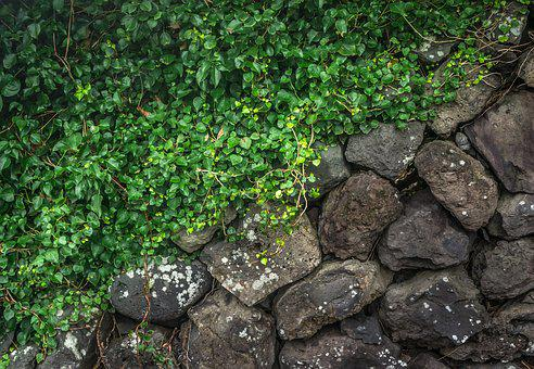 Ivy, Wall, The Leaves, Vine, Plants, Nature, Damme