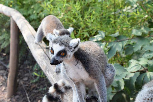 Lemur, Maki Catta, Fur, Nature, Wild, Mammals