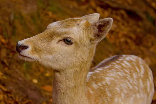 Roe Deer, Autumn, Wild, Nature, Animal, Forest, Cute