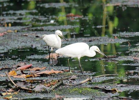 Egret, Wild, Wildlife, Bird, Migratory, Feeding