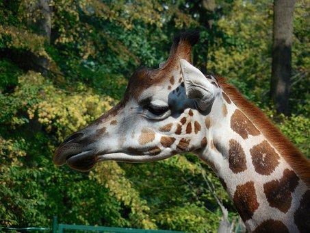 Giraffe, Animal, Zoo, Head
