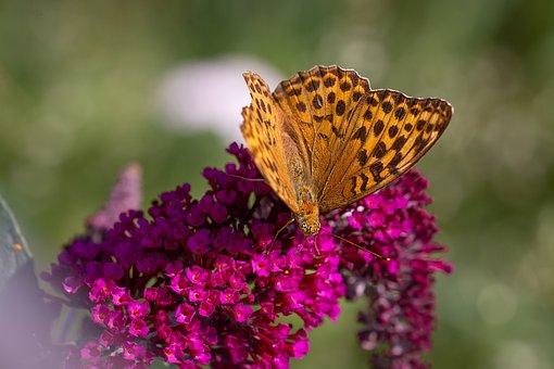 Butterfly, Fritillary, Edelfalter, Butterflies, Animal