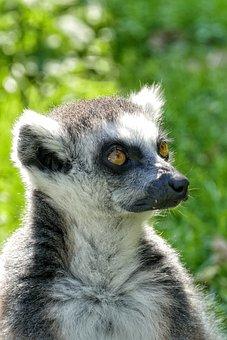 Lemur, Animal, Cute, Mammal, Madagascar, Fur, Nature