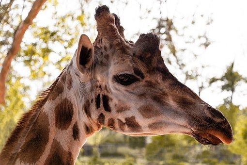 Giraffe, Head, Neck, Animal, Long Neck, Stains, Wild