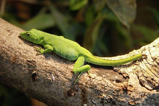 Anolis, Caribbean, Reptile, Animal, Lizard, Green, Claw
