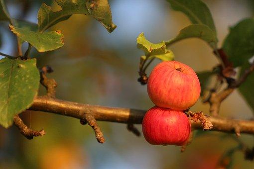 Apple, Fruit, Nature, Tree, Fresh, Healthy, Mature