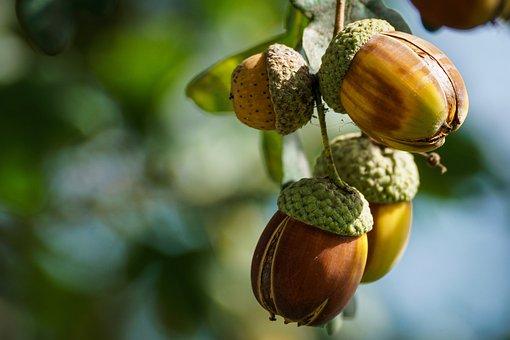 Acorns, Fruit, Oak, Autumn, Tree, Oak Leaves