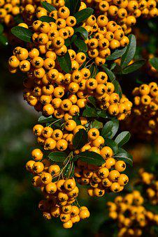 Rowan, Orange, Berries, Fruits, Bush, Plant, Nature