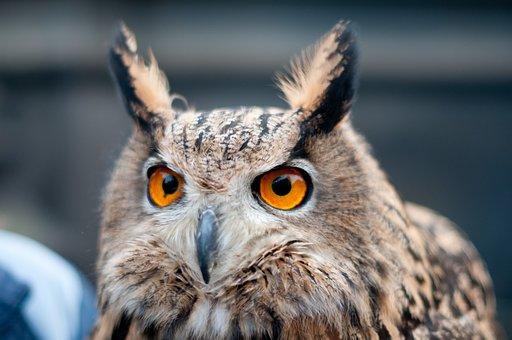 Owl, Bird, Animal, Nature, Plumage, Raptor, Feather