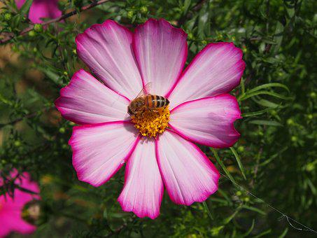 Blossom, Bloom, Purple, White, Bee, Cosmos