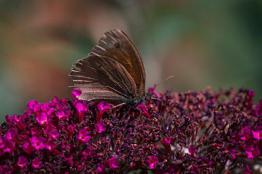 Butterfly, Brown, Lycaon, Nature, Lilac, Summer Lilac