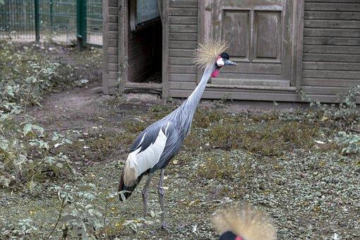 Bird, Grey Crowned Crane, Duck Bird, Prieser, Zoo