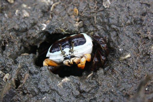 Fiddler Crab, Female, Nudgee, Mangrove, Mud, Crab