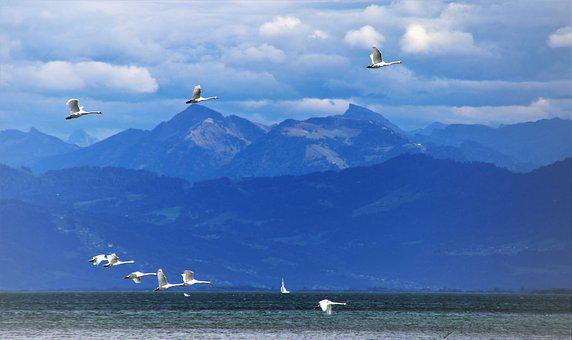 Far View, In Flight, Swans, High, Flying, Tops, Nature
