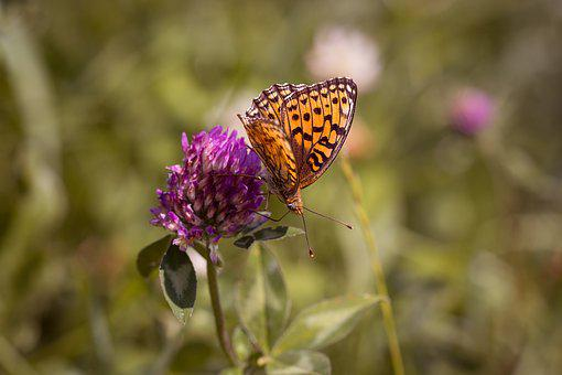 Butterfly, Fritillary, Orange Butterfly, Nature, Klee