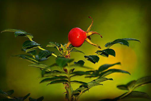Rose Hip, Fruit, Vitamin, Nutrition, Medicinal