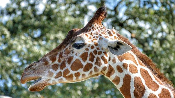 Giraffe, Zoo, Africa, Safari, Animal, Herbivore