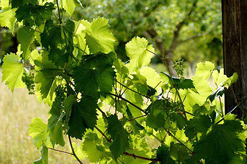 Grapes, Nature, Fruit, Green, Grapevine, Wine, Arbor