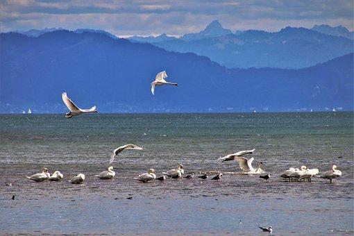 Lake, Water, White, Peace Of Mind, Swans, Landing, Swan