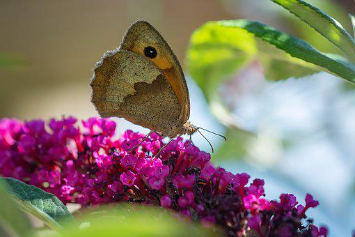 Butterfly, Lycaon, Edelfalter, Insect, Lilac